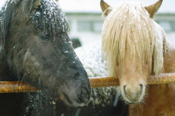 Islandpferd im Schnee